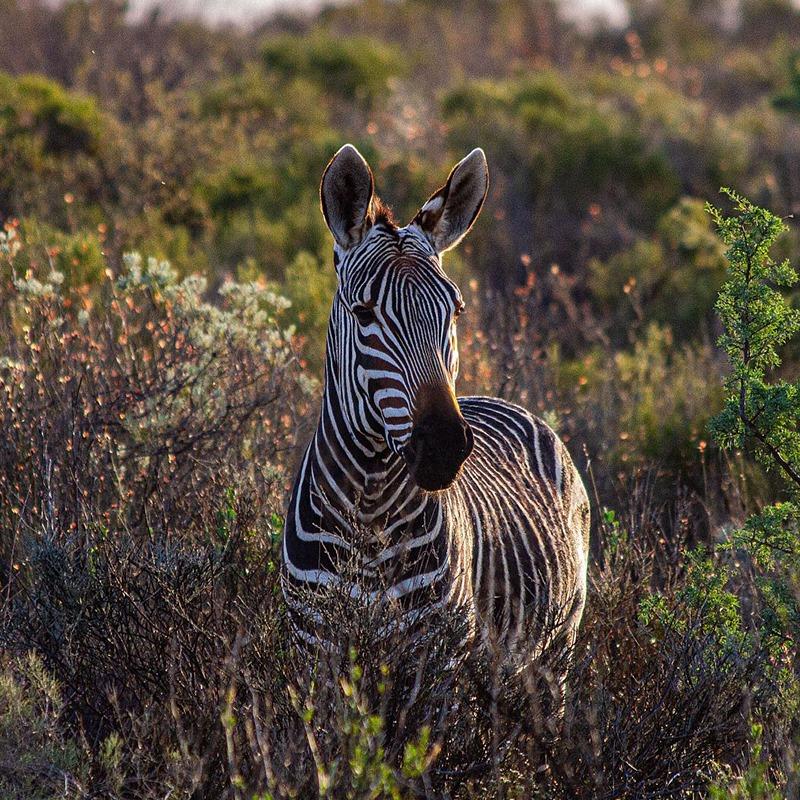 Simbavati Fynbos on Sea - zebra in fynbos