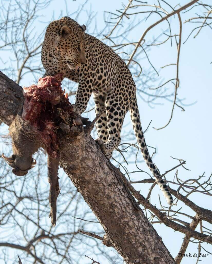Timbavati Game Reserve - leopard with a kill
